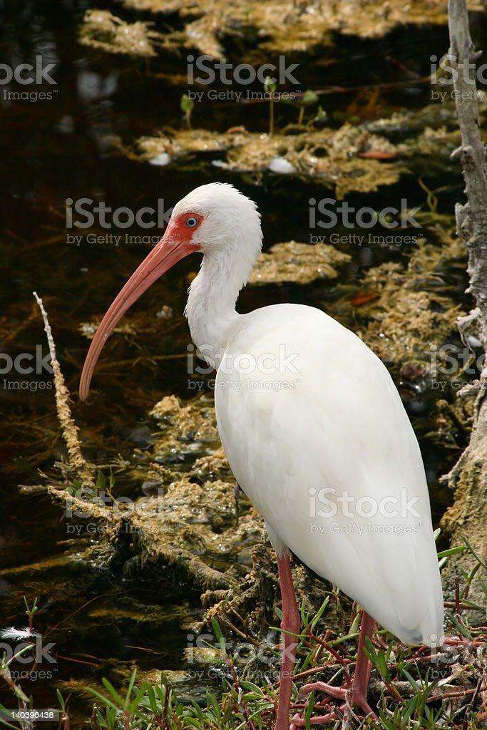 Ibis blanco con vista al río foto de stock libre de derechos