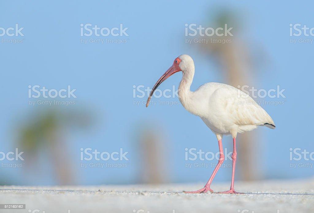 White Ibis - Palm Tree Background stock photo