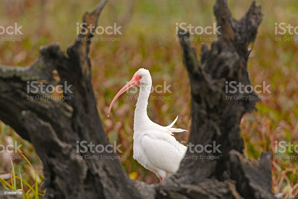 White Ibis Peeking Out From Behind a Tree stock photo