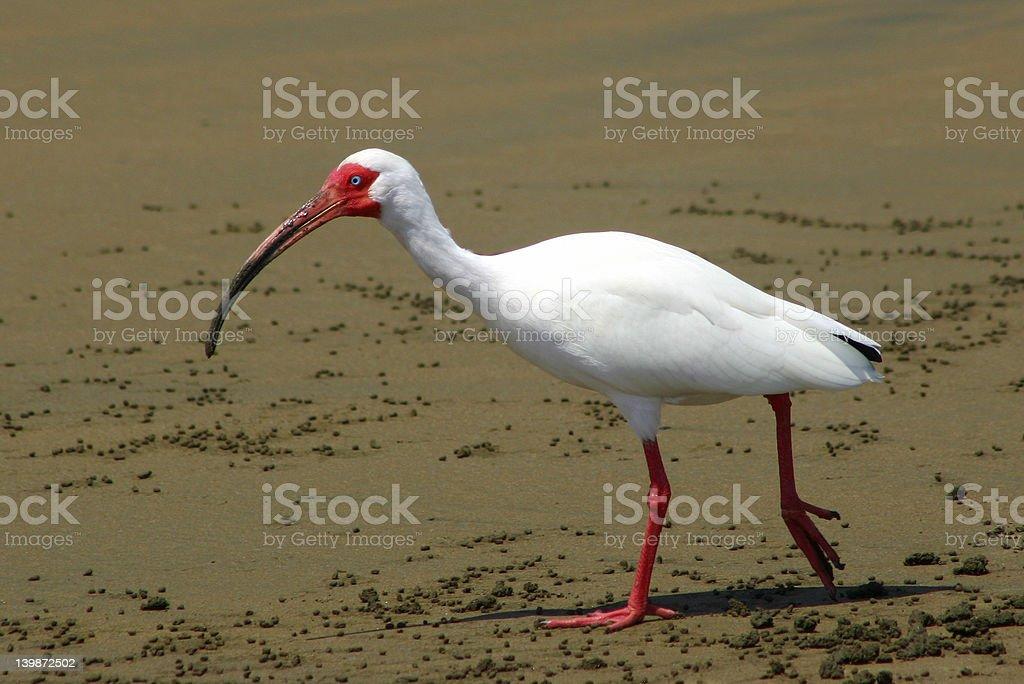 White Ibis stock photo