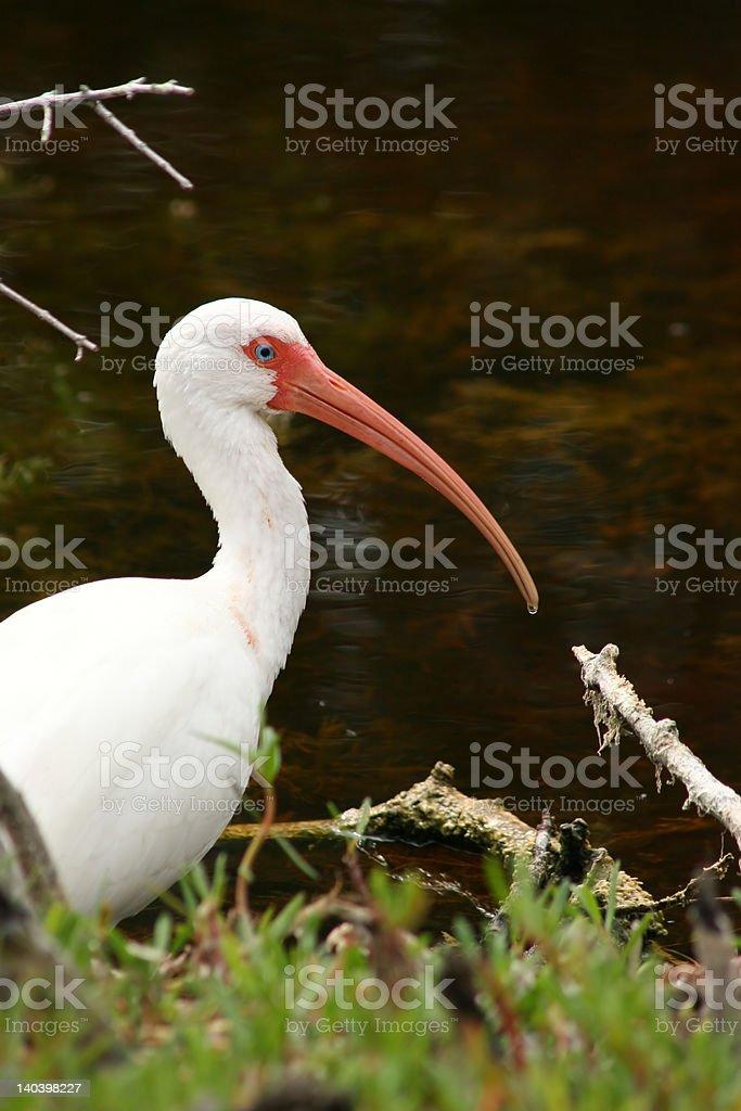 Ibis blanco foto de stock libre de derechos