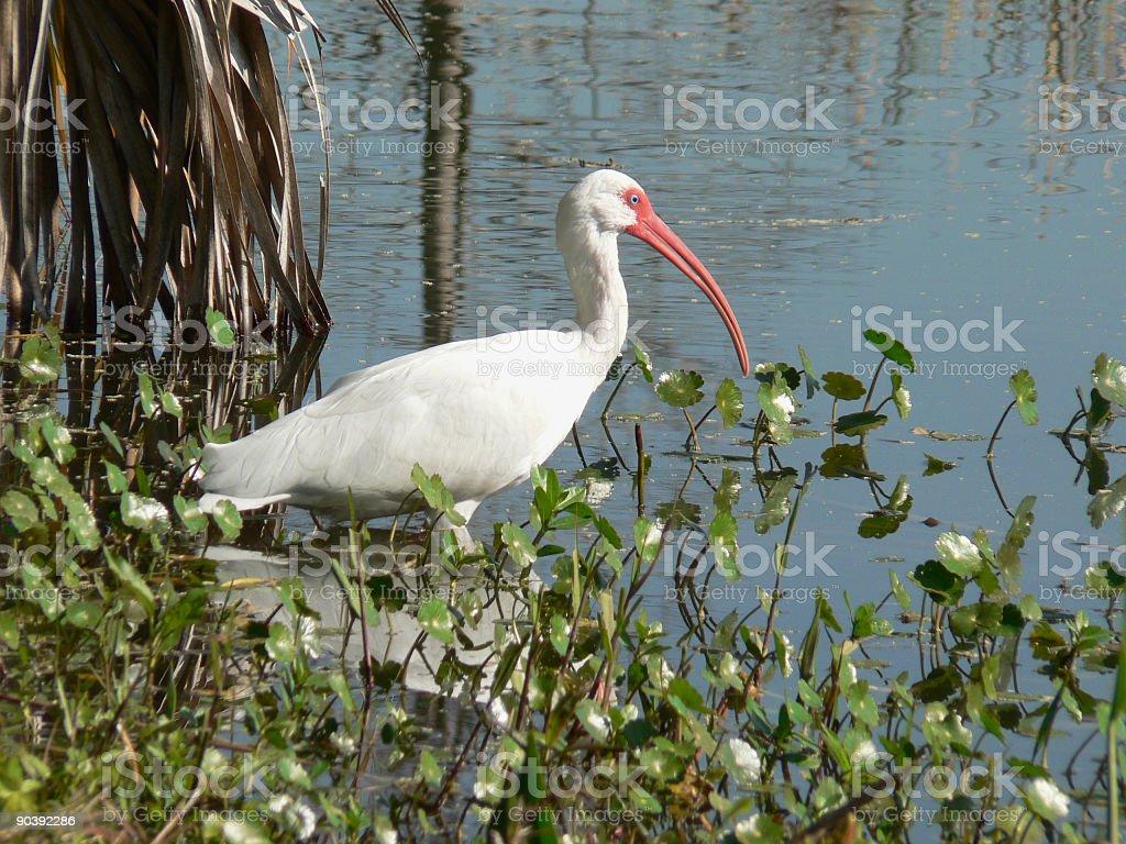 White Ibis royalty-free stock photo