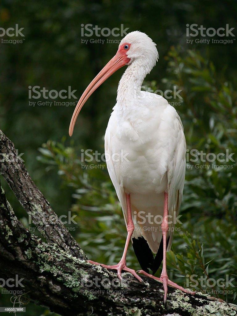 white ibis posing in profile on branch stock photo
