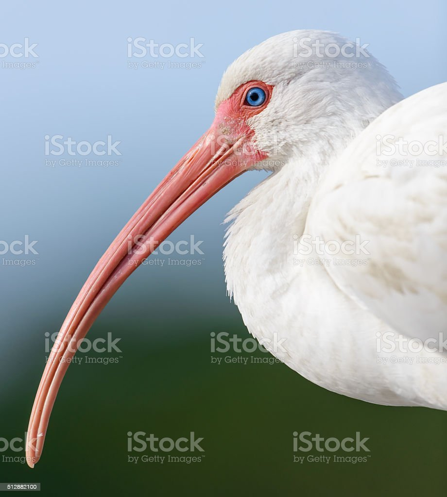 White Ibis Profile - Up Close stock photo