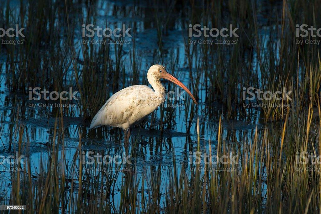 White Ibis standing in tidal marsh stock photo