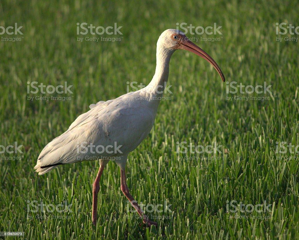 White Ibis Walking stock photo