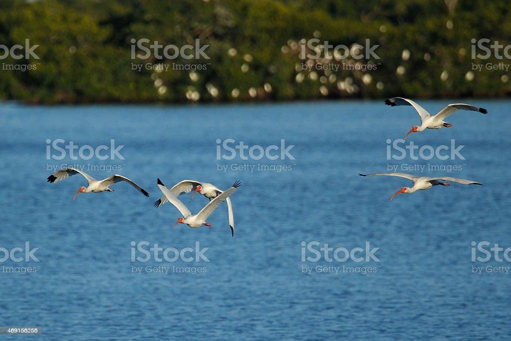 White Ibises in flight stock photo
