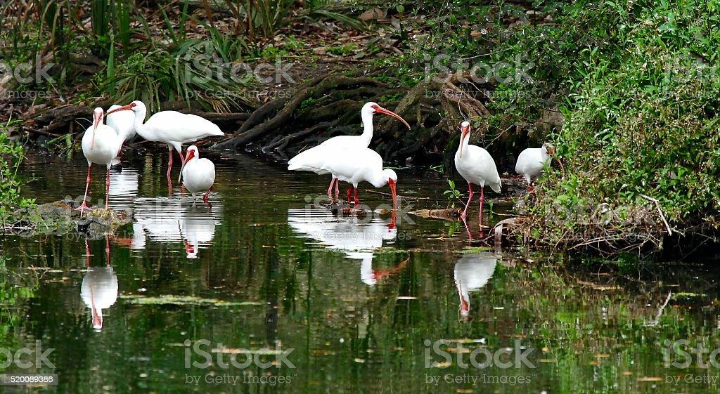 White Ibises stock photo