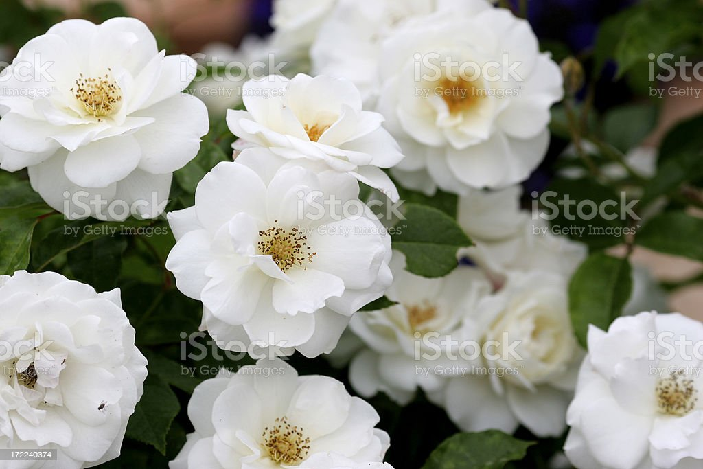 White iceburg roses. Also available as a vertical. royalty-free stock photo