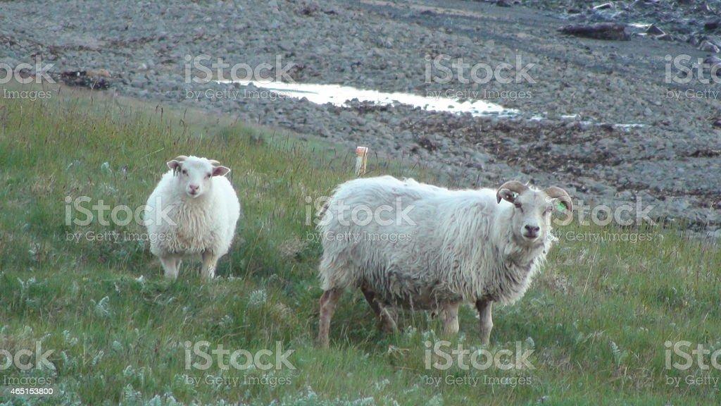White Icelandic Sheeps stock photo