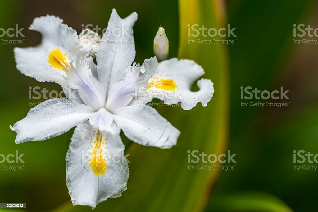 White Iris Flower stock photo