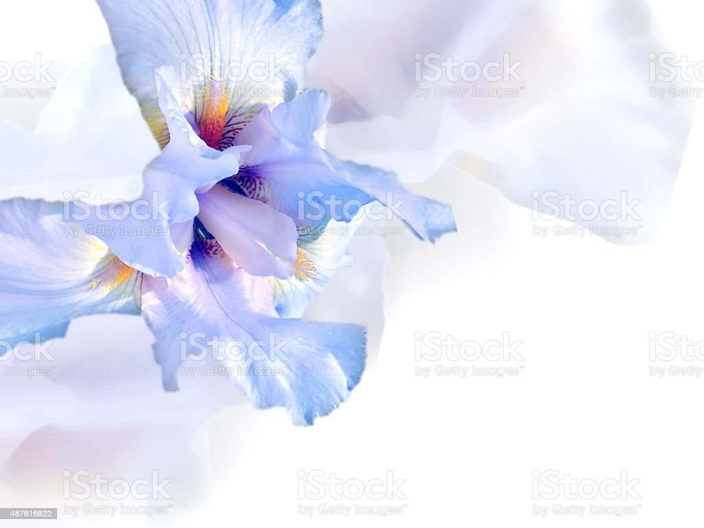 White iris. stock photo