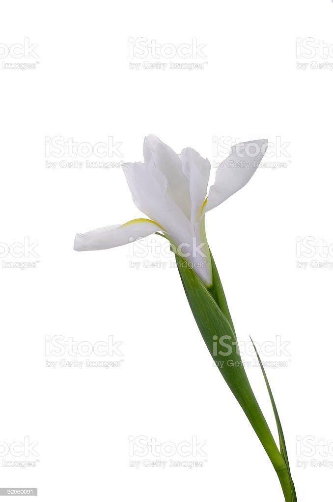 White Iris royalty-free stock photo