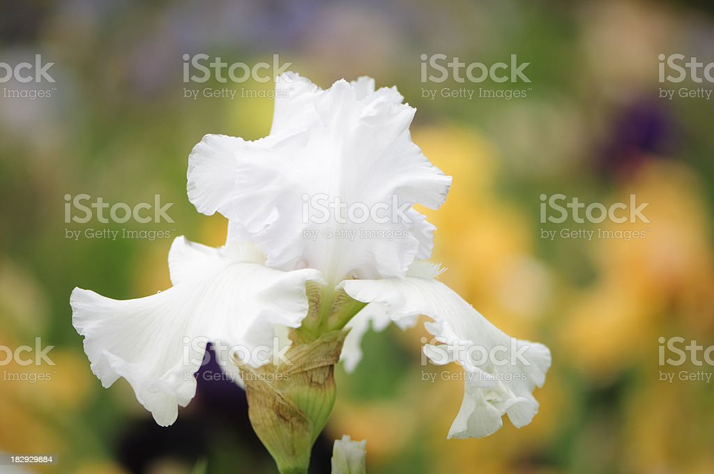 White Iris with colorful background stock photo
