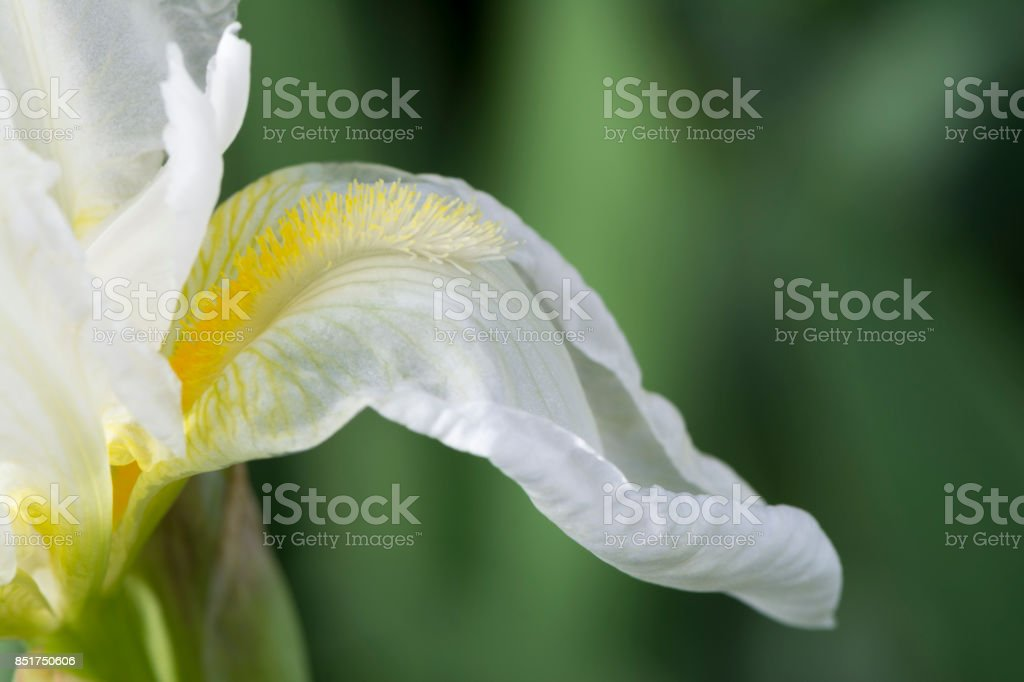 White Iris with Yellow Beard (Possibly Frequent Flyer) stock photo
