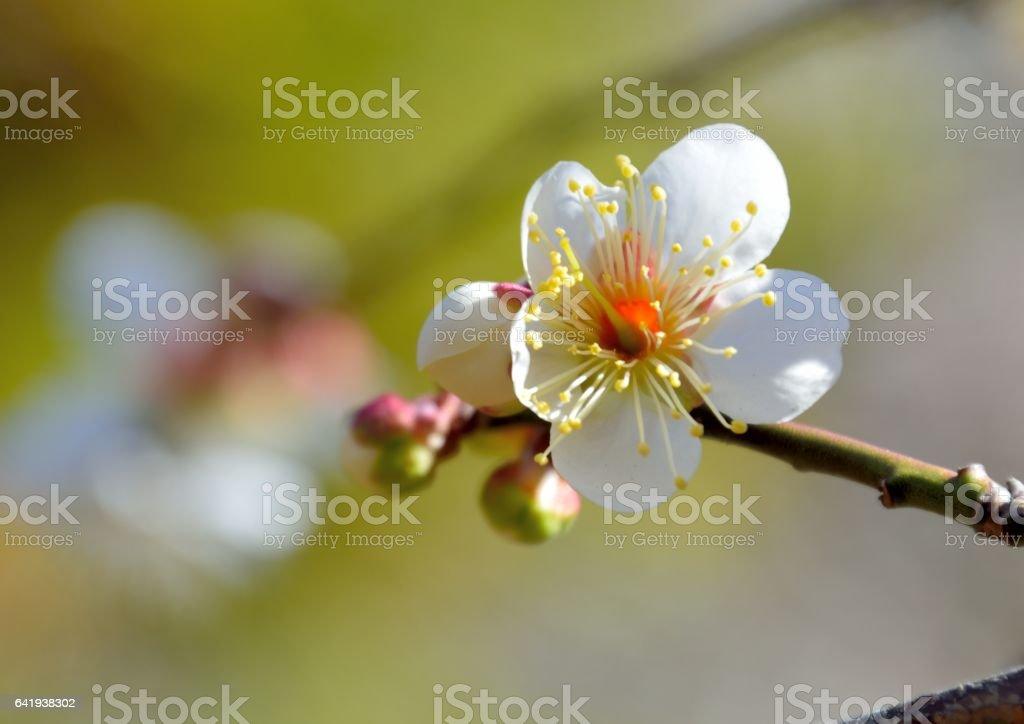 White japanese plum blossoms stock photo