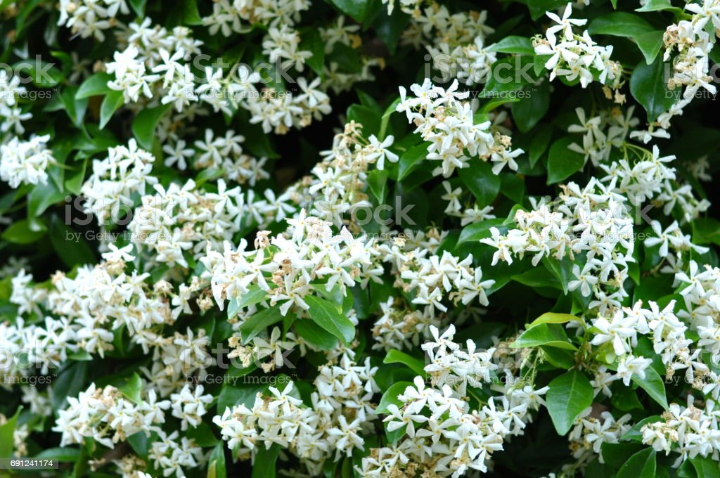 White Jasmin 2 stock photo