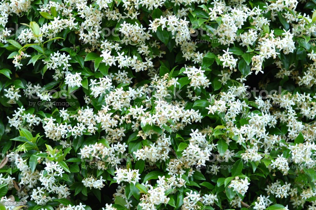 White Jasmin stock photo