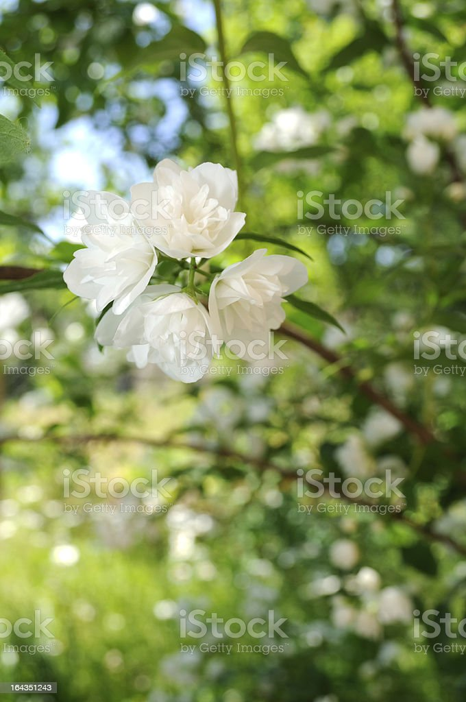 White Jasmine Flowers on Shrub royalty-free stock photo