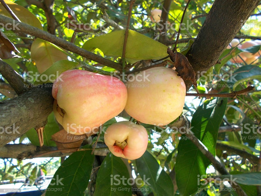 white java apples on the tree stock photo