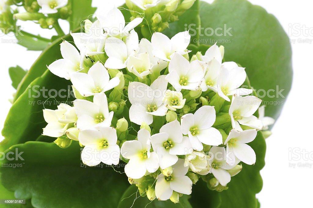 white Kalanchoe flower isolated stock photo