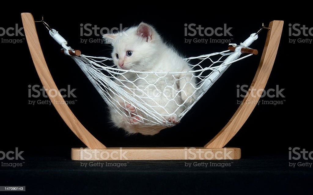 White kitten in hammock stock photo
