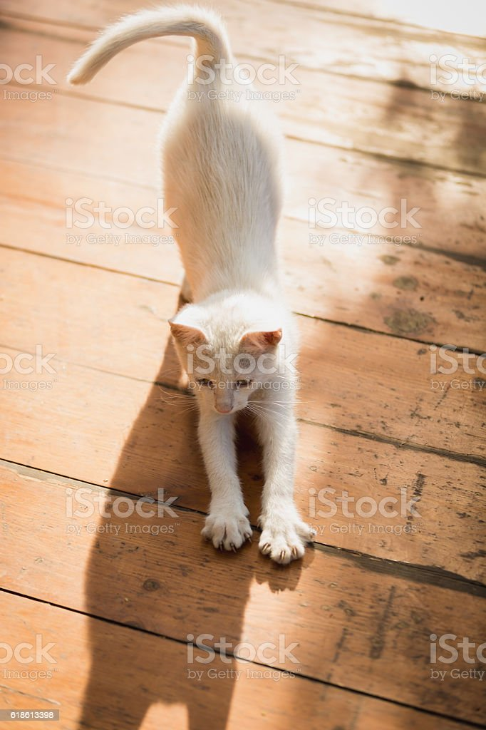 White kitten stretching on wooden floor at sunny day stock photo