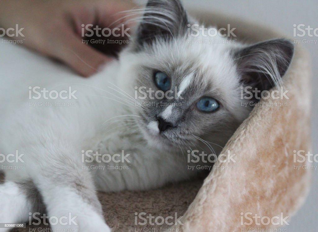White kitten whit blue eyes stock photo