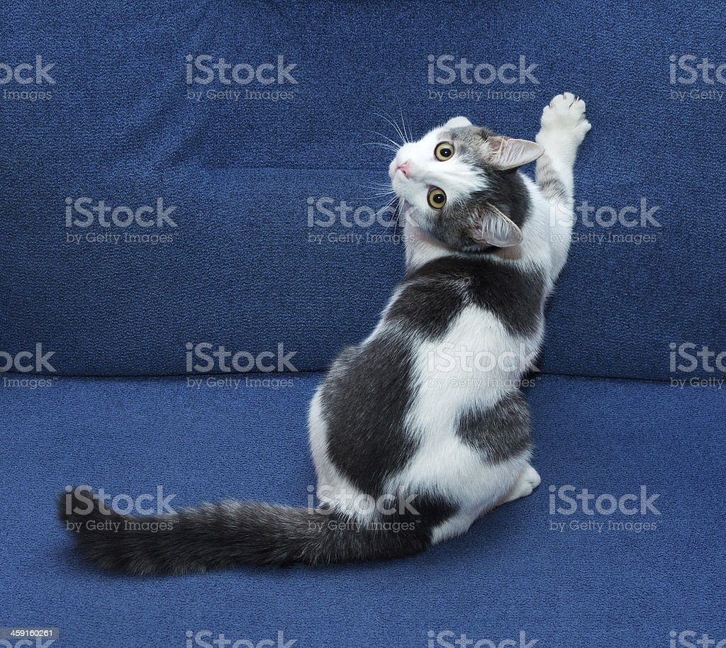 White kitten with gray spots sharpening its claws stock photo