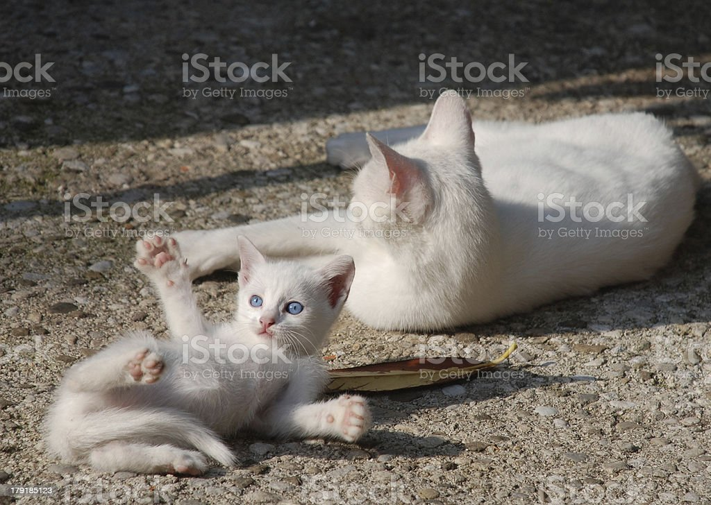 White Kitten with Mother royalty-free stock photo