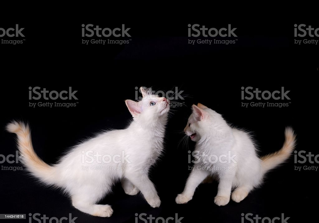 White kittens royalty-free stock photo