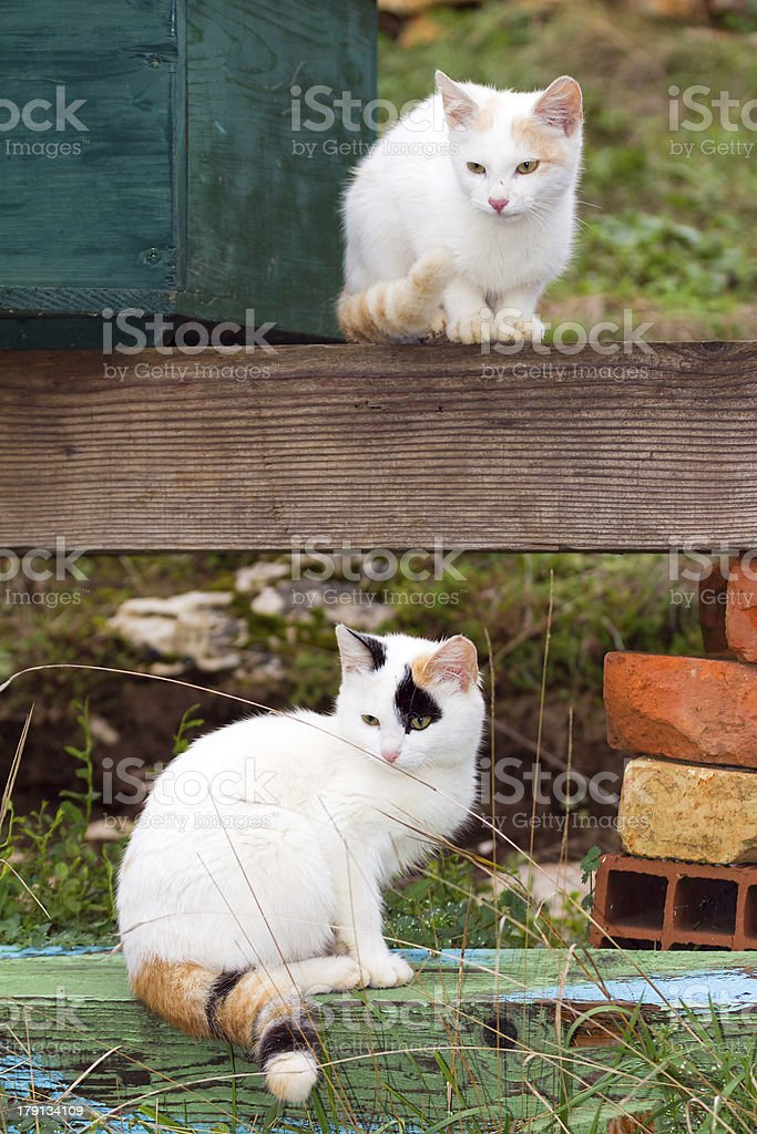 White kittens royalty-free stock photo