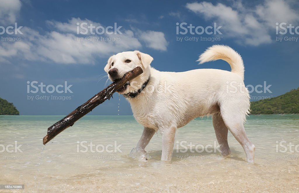 White Labrador Retriever fetching a stick in Tropical waters (XXXL) royalty-free stock photo