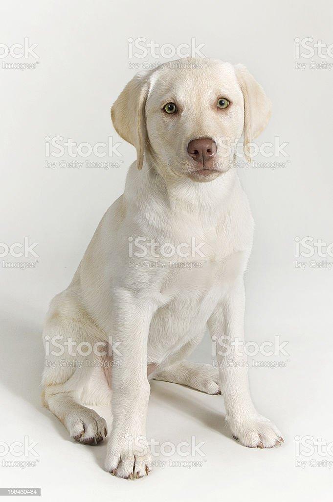 White Labrador Retriever Puppy Dog royalty-free stock photo