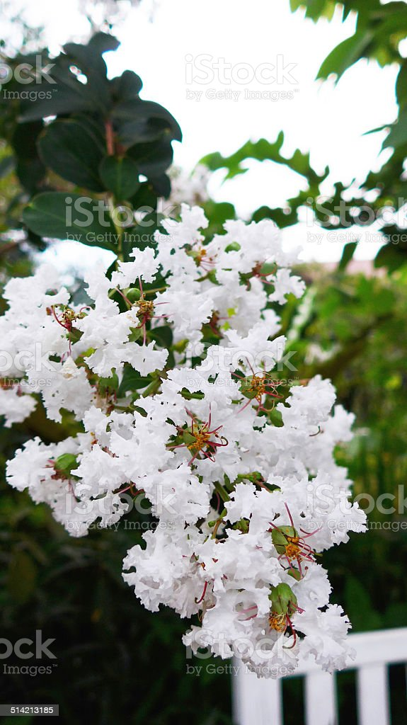 White Lagerstroemia speciosa flowers stock photo