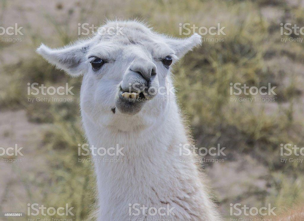 White lama stock photo