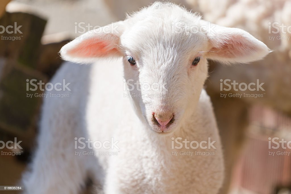 White lamb looking at you stock photo