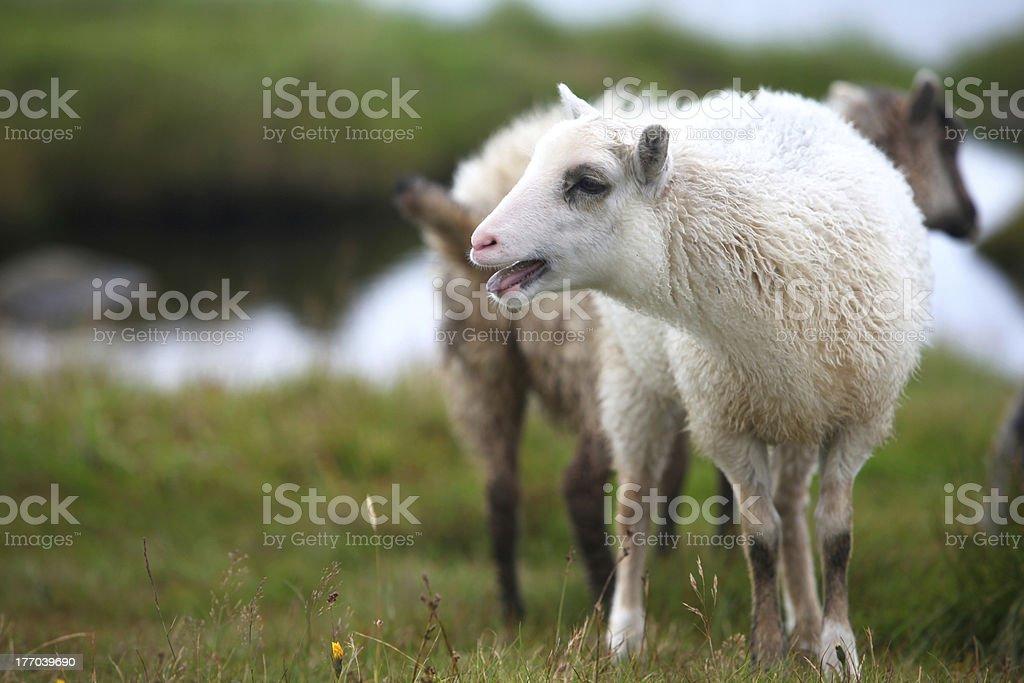 White lamb on the pasture stock photo