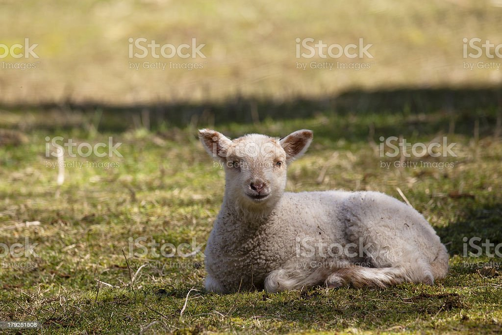 White lamb sitting in field royalty-free stock photo