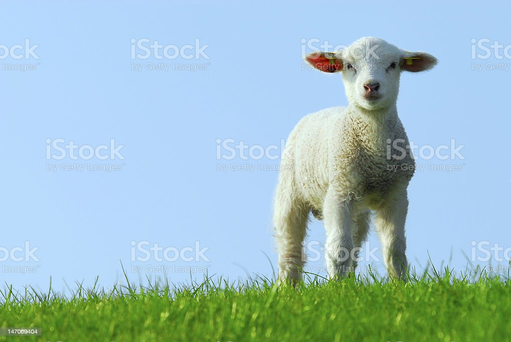 White lamb standing on a grassy field with blue sky behind stock photo