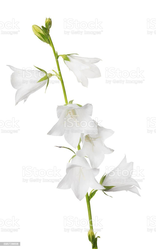 white large isolated bellflower with six blooms stock photo