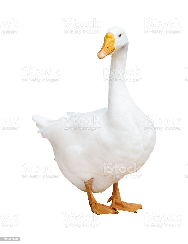 white large isolated goose stock photo
