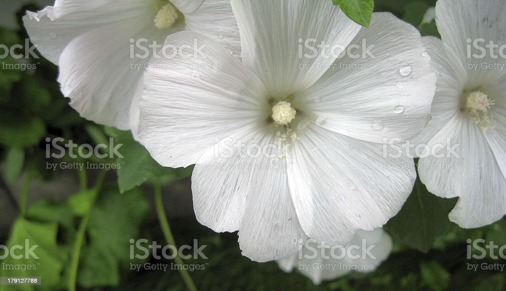 White Laverta bloom royalty-free stock photo