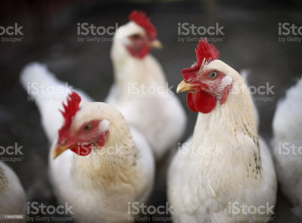 White Laying hens stock photo