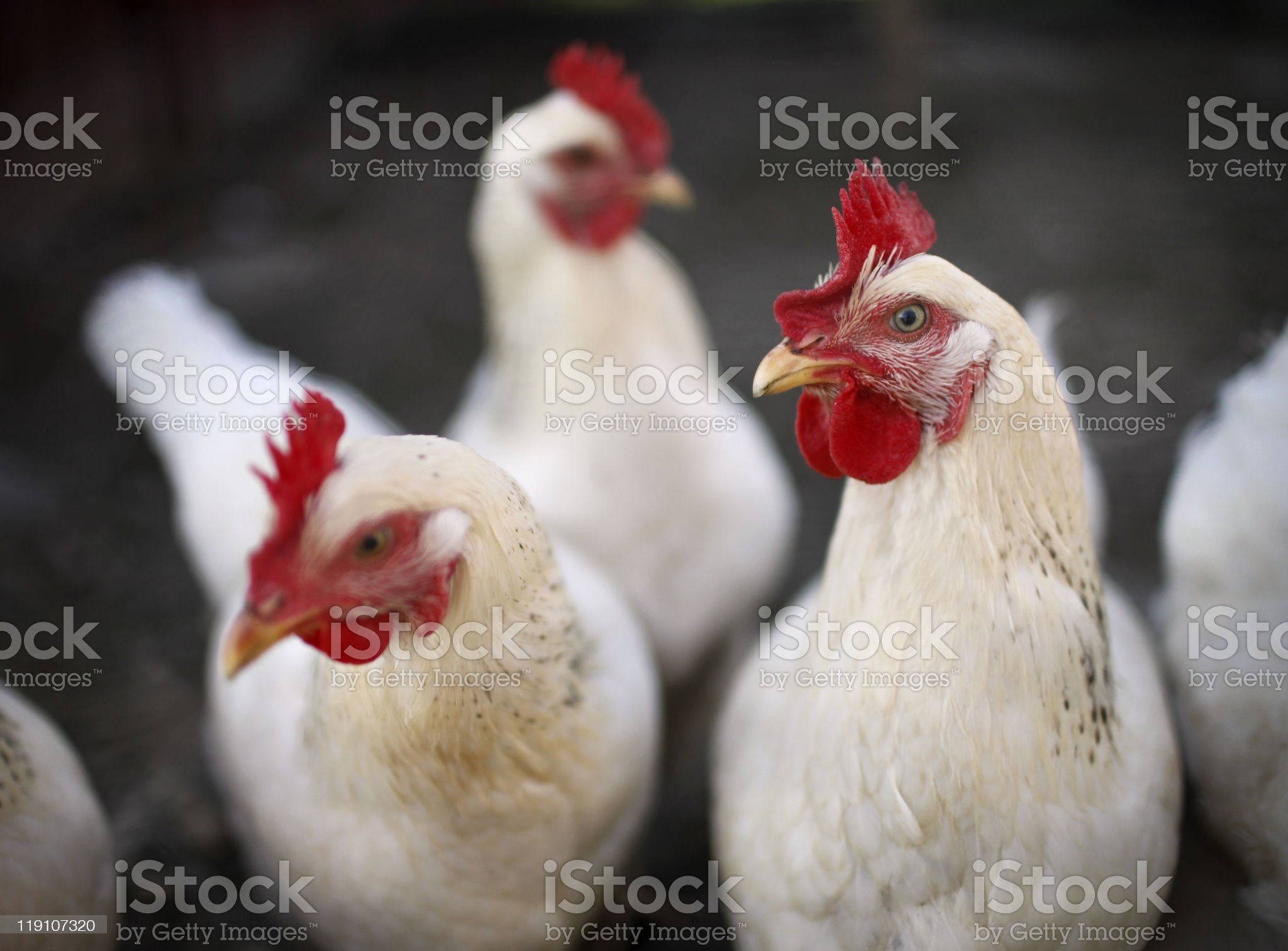 White Laying hens royalty-free stock photo