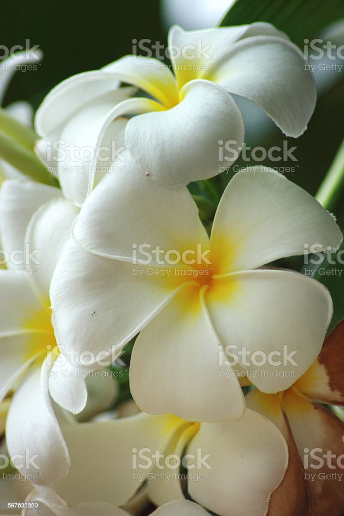 White Leelawadee stock photo