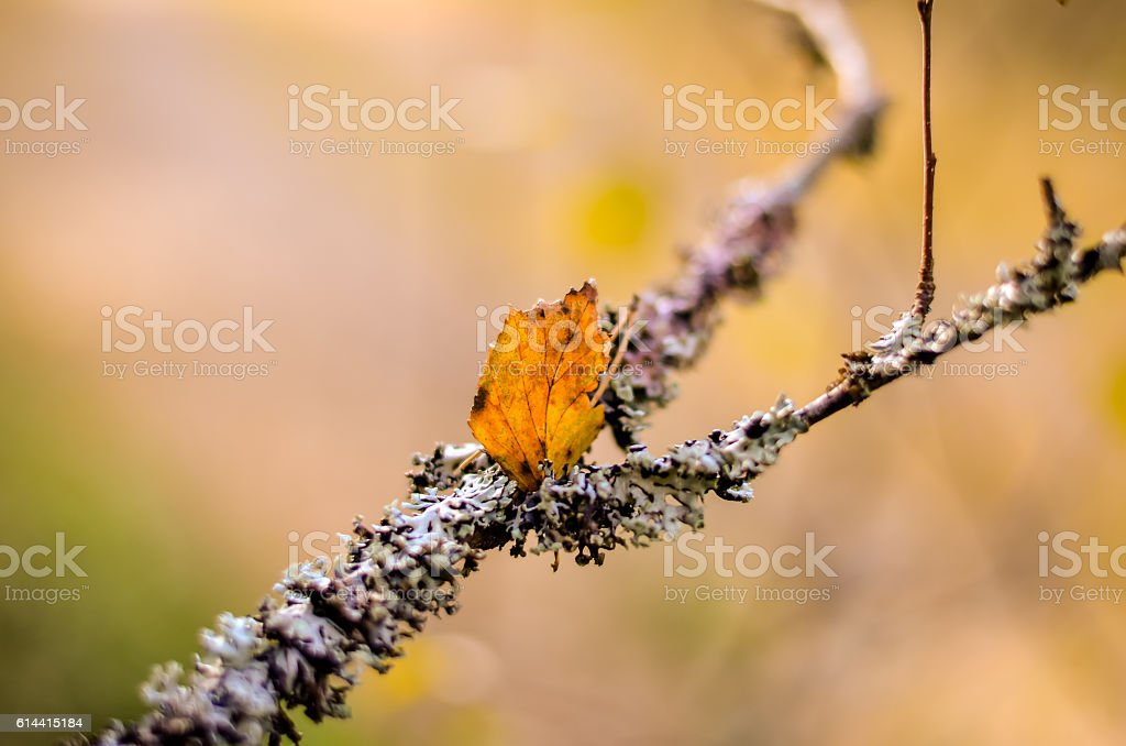 white lichen and red leave on tree branch stock photo