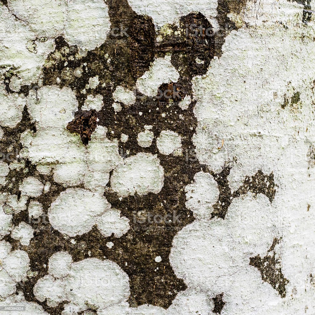 White lichens stock photo
