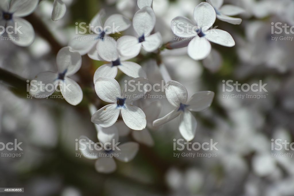 white lilac blossom royalty-free stock photo