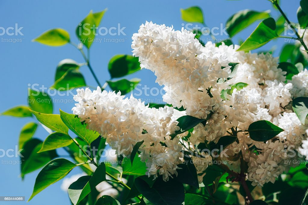White lilac. Blossoming branch of a white lilac close-up stock photo